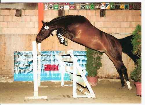 Chevalblog cheval qui saute - Frison qui saute ...